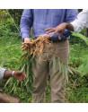 ginger from Madagascar