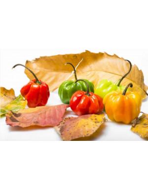 Whole Majungais peppers