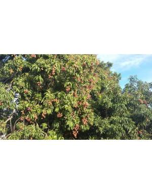Litchis de Madagascar