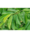 soursop leaves