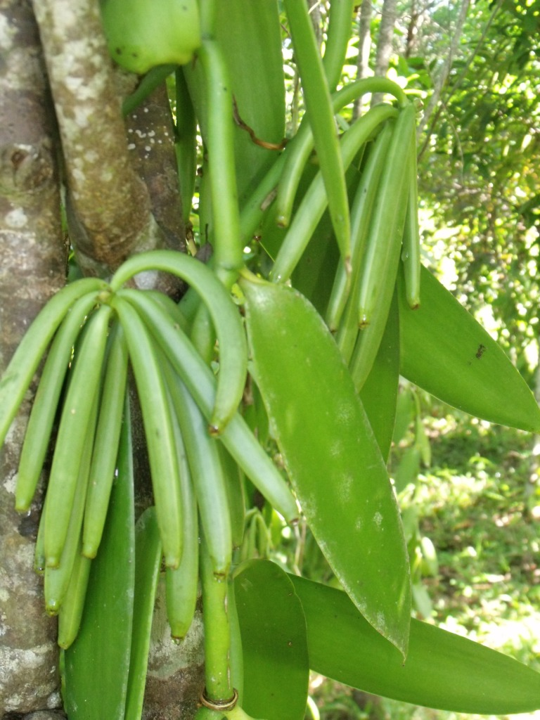 green vanilla beans